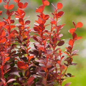 Berberis thunbergii Orange Rocket'® – Oszlopos, narancssárga levelű borbolya