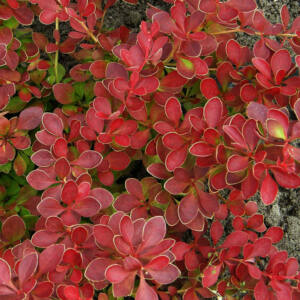 Berberis thunbergii 'Red Carpet' – Piros levelű terülő borbolya