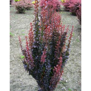 Berberis thunbergii 'Red Pillar' - Oszlopos vérborbolya