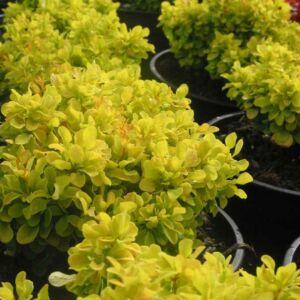 Berberis thunbergii 'Tiny Gold'® – Sárga levelű, törpe, gömb japán borbolya
