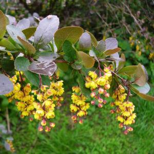 Berberis vulgaris – Közönséges borbolya
