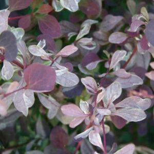 Berberis x ottawensis 'Silver Miles' – Tarkalevelű borbolya