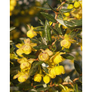Berberis candidula 'Jytte' - Törpe ezüstös borbolya