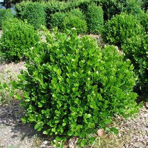 Buxus microphylla 'Faulkner' – Örökzöld puszpáng