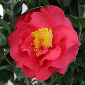 Camellia japonica 'Blood of China' – Japán kamélia