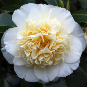 Camellia japonica 'Brushfield's Yellow' – Japán kamélia