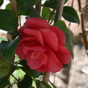 Camellia japonica 'Lady Campbell' – Japán kamélia