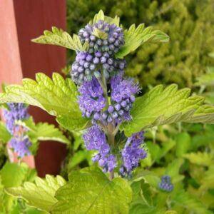 Caryopteris x clandonensis 'Hint of Gold'® – Sárgás levelű kékszakáll