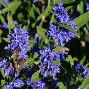 Caryopteris clandonensis 'Kew Blue' - Sötétkék virágú kékszakáll