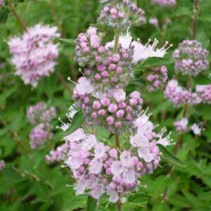 Caryopteris clandonensis 'Stephi' – Angol kékszakáll (rózsaszín virágú)