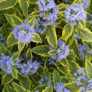 Caryopteris x clandonensis 'Summer Sorbet'® – Sárga-tarka levelű kékszakáll