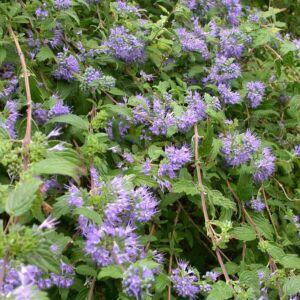 Caryopteris incana 'Cary' – Sötétkék virágú kínai kékszakáll