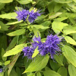 Caryopteris incana 'Sunshine Blue' – Kínai kékszakáll