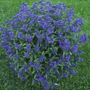 Caryopteris x clandonensis 'Petit Blue' – Angol kékszakáll
