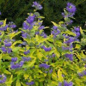 Caryopteris x clandonensis 'Sunny Blue' – Angol kékszakáll