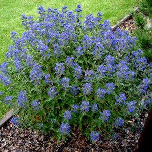Caryopteris clandonensis 'Grand Bleu'® - Angol kékszakállCaryopteris clandonensis 'Grand Bleu'® - Sötétkék virágú angol kékszakáll