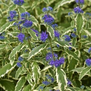Caryopteris clandonensis 'White Surprise'® – Fehér-tarka levelű angol kékszakáll