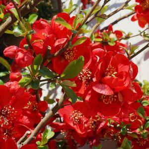 Chaenomeles japonica 'Cido Red' – Japánbirs