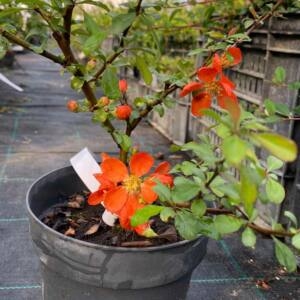 Chaenomeles japonica 'Red Hybrids' – Japánbirs