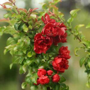 Chaenomeles japonica 'Red Joy' – Piros virágú japánbirs