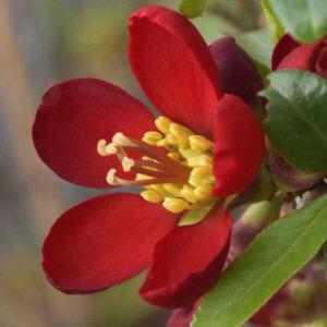 Chaenomeles speciosa 'Hot Fire' – Piros virágú japánbirs