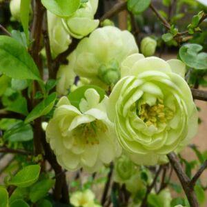 Chaenomeles speciosa 'Kinshiden' – Pompás japánbirs