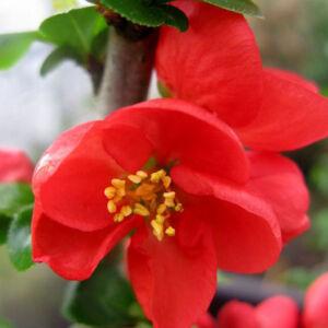 Chaenomeles speciosa 'Red Kimono'® – Pompás japánbirs