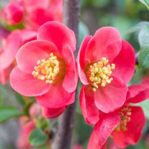 Chaenomeles x superba 'Pink Lady' – Rózsaszín virágú japánbirs