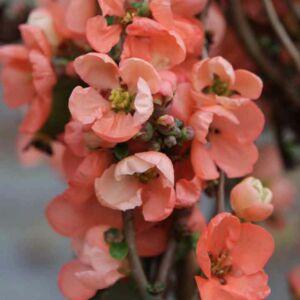 Chaenomeles x superba 'Salmon Horizon' – Sötét rózsaszín virágú japánbirs