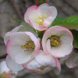 Chaenomeles x superba 'Flocon Rose' – Japánbirs
