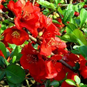 Chaenomeles x superba 'Red Trail' – Piros színű japánbirs