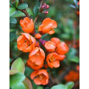 Chaenomeles japonica 'Cido' - Narancsszínű japánbirs