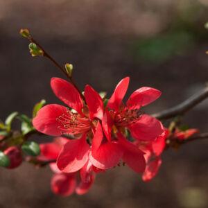 Chaenomeles speciosa – Pompás japánbirs