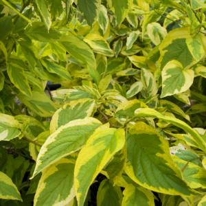 Cornus alba 'Spaethii' - Arany tarka fehér som