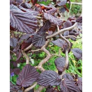 Corylus avellana 'Red Majestic®' - Csavartvesszejű  vérmogyoró