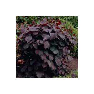 Corylus maxima 'Purpurea' – Vérmogyoró