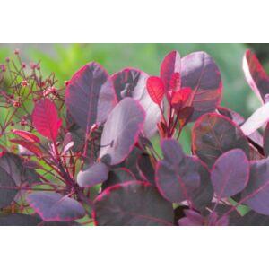 Cotinus coggygria 'Lilla' - Vörös lombú törpe cserszömörce