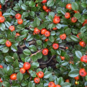 Cotoneaster dammeri 'Major' – Nagylevelű madárbirs