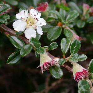Cotoneaster integrifolius – Törpe madárbirs