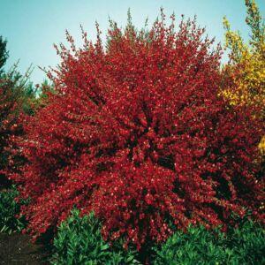 Cytisus 'Brem Red' – Zanót