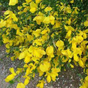Cytisus 'Brem Yellow' – Zanót