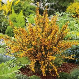 Cytisus scoparius 'Apricot Gem' – Zanót (narancs-rózsaszín)