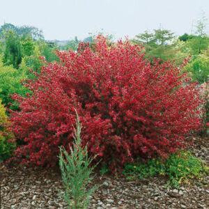 Cytisus scoparius 'Boskoop Ruby' – Zanót (sötétpiros)