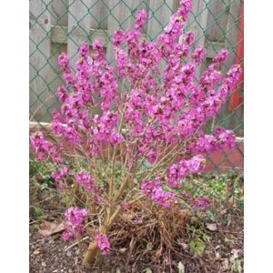 Daphne mezereum 'Rubra' - Piros virágú farkasboroszlán (illatos)