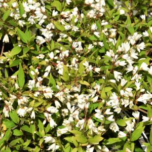 Deutzia crenata 'Nikko' – Törpe gyöngyvirágcserje