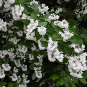 Deutzia crenata 'Pride of Rochester' Fehér virágú gyöngyvirágcserje