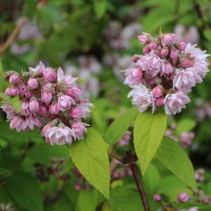 Deutzia 'Pink Pompom' – Gyöngyvirágcserje