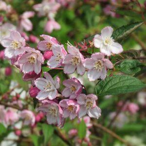 Deutzia purpurascens 'Kalmiiflora' – Rózsaszín virágú gyöngyvirágcserje