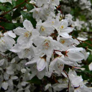 Deutzia rosea 'Campanulata' – Harangvirágú gyöngyvirágcserje
