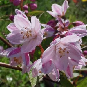 Deutzia rosea 'Carminea' – Gyöngyvirágcserje